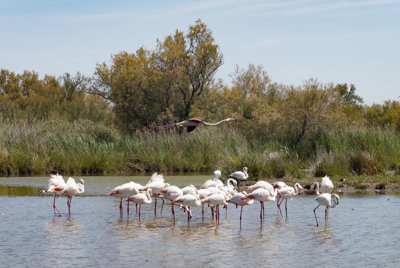 Flamingos Camargue