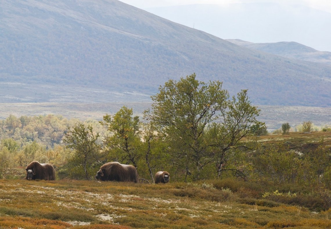 Musk oxen in the national park Dovrefjell, Norway