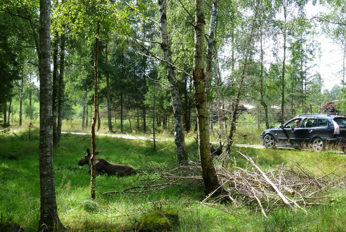 Elch im Elchpark Smalandet in Schweden