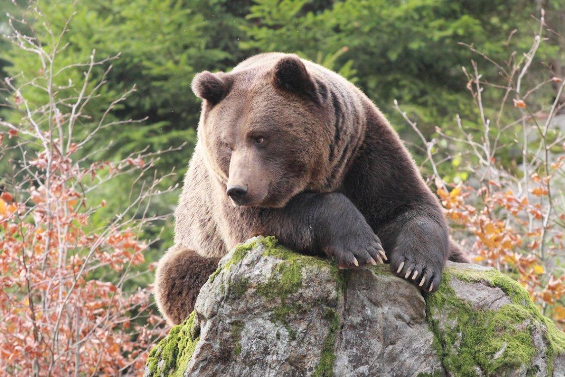 Braunbär im Nationalpark Bayrischer Wald