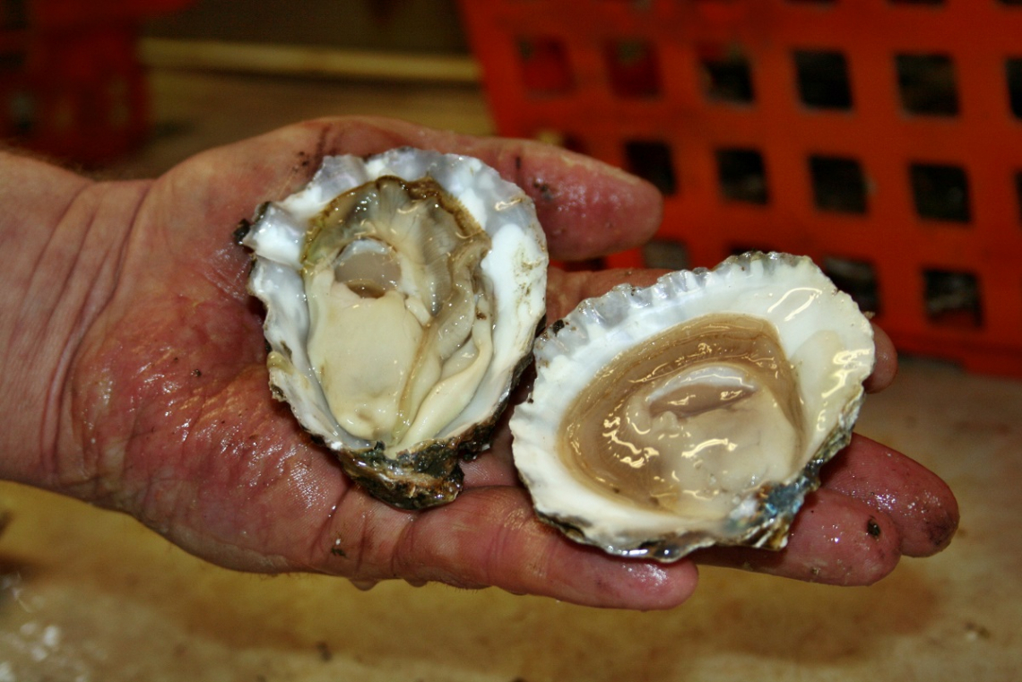 Two different types of oysters compared