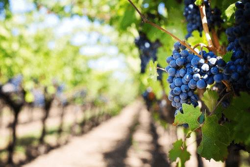 In verschillende regio's in Italië vind je agriturismo op een wijnboerderij.