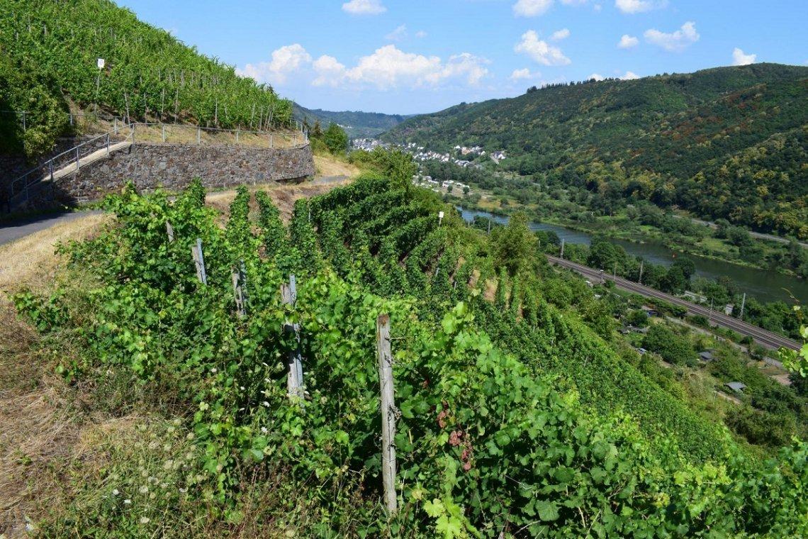 Wijngaard aan de Moezel in het voorjaar