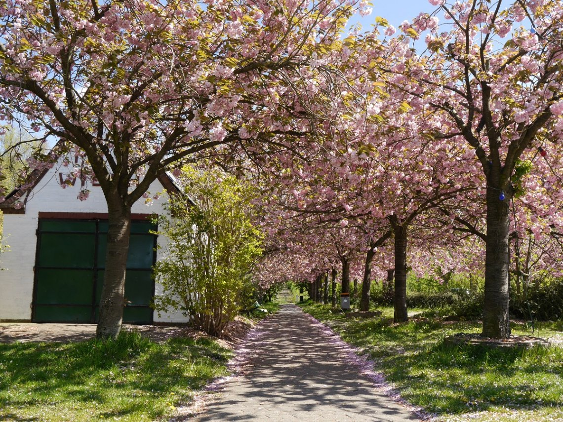 Allee mit Zierkirschblüten im Alten Land