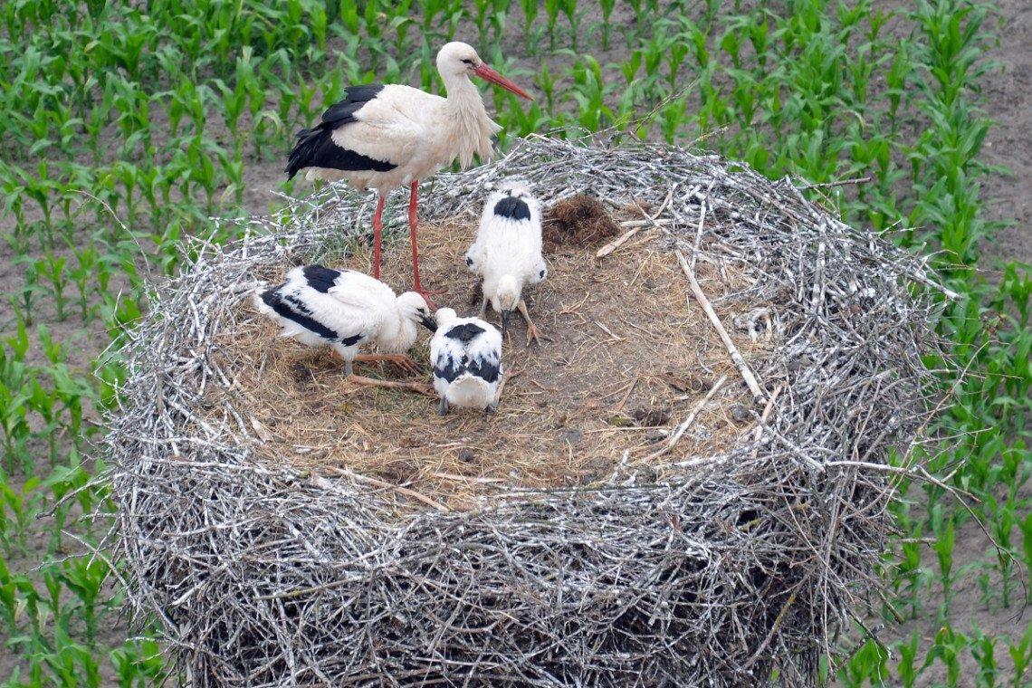 Storchennest mit Weißstörchen in Potowo