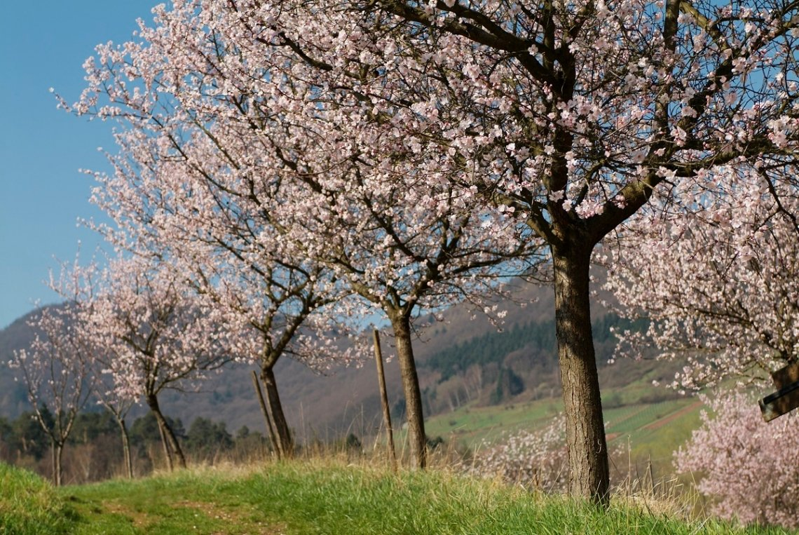 Pink almond trees in the Palatinate