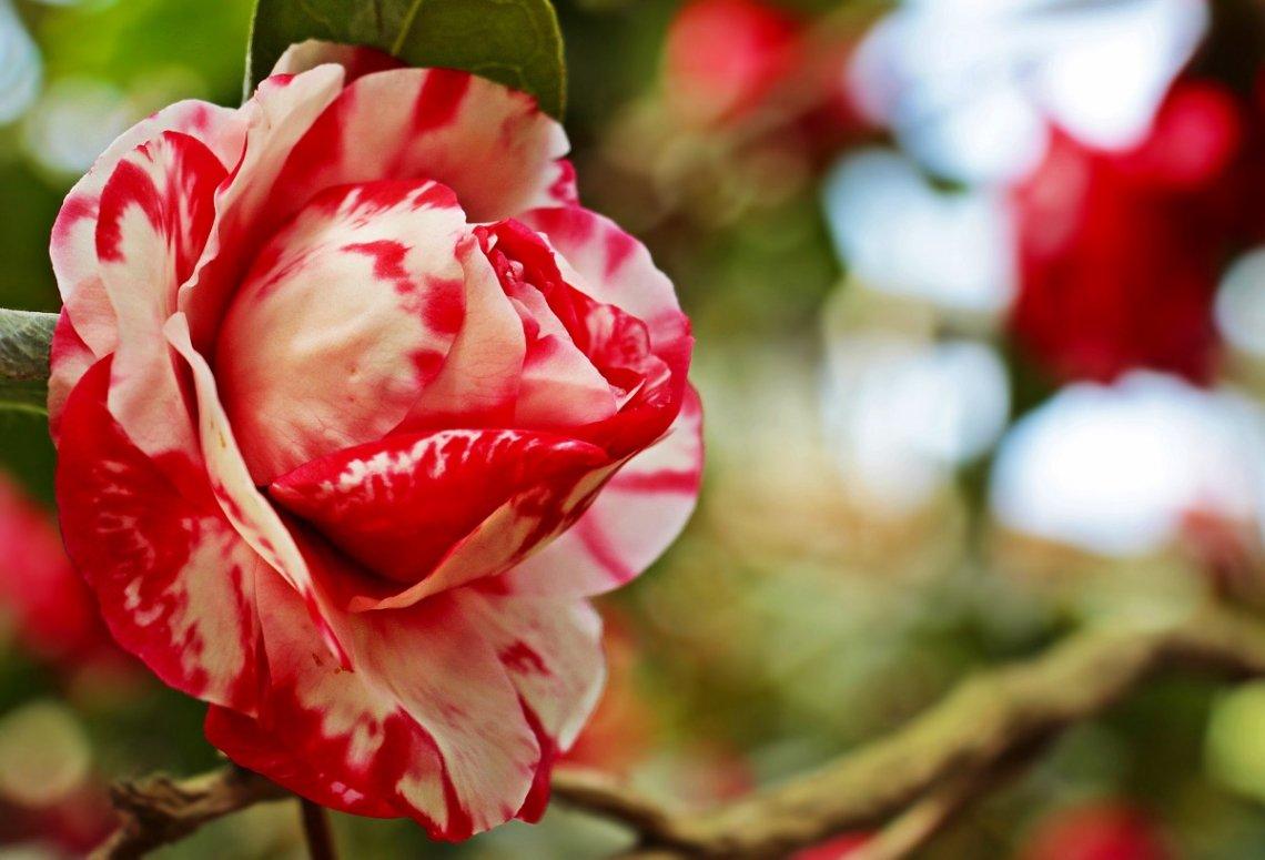 Gefüllte, rot-weiß getigerte Kamelienblüte