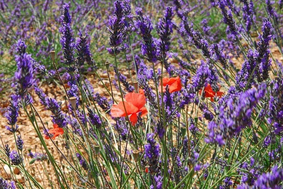 Lavendelvelden in overvloed in Zuid-Frankrijk.