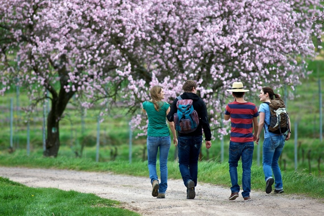 Hikers on the Palatinate Almond Trail during the almond blossom