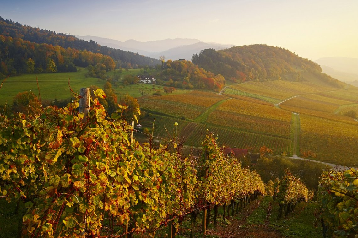 Blick über herbstlichen Weinberg am Castellberg im Markgräflerland