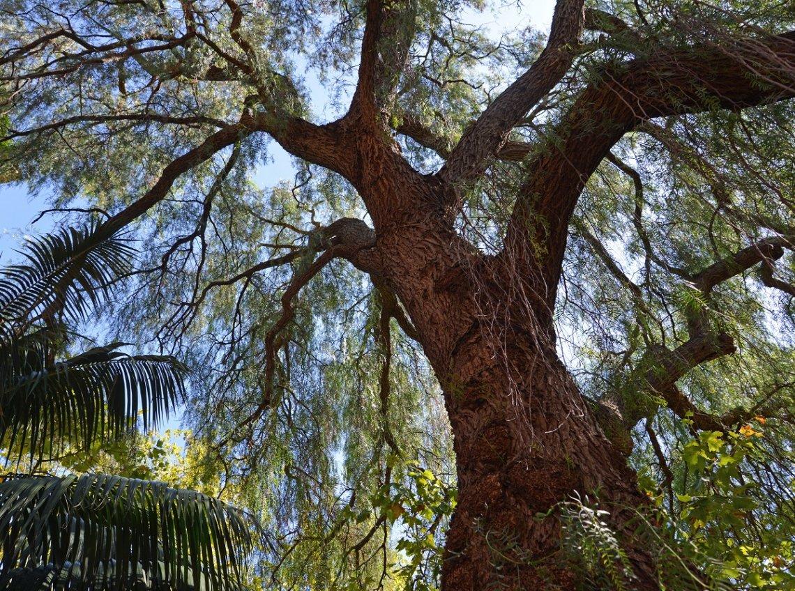Großer Pfefferbaum in Sainte-Maxime, Frankreich