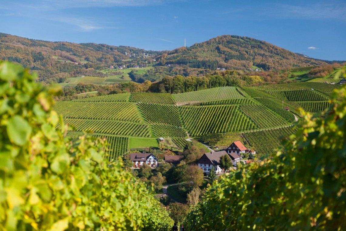 Sasbachwalden umgeben von Weinreben in Steillagen