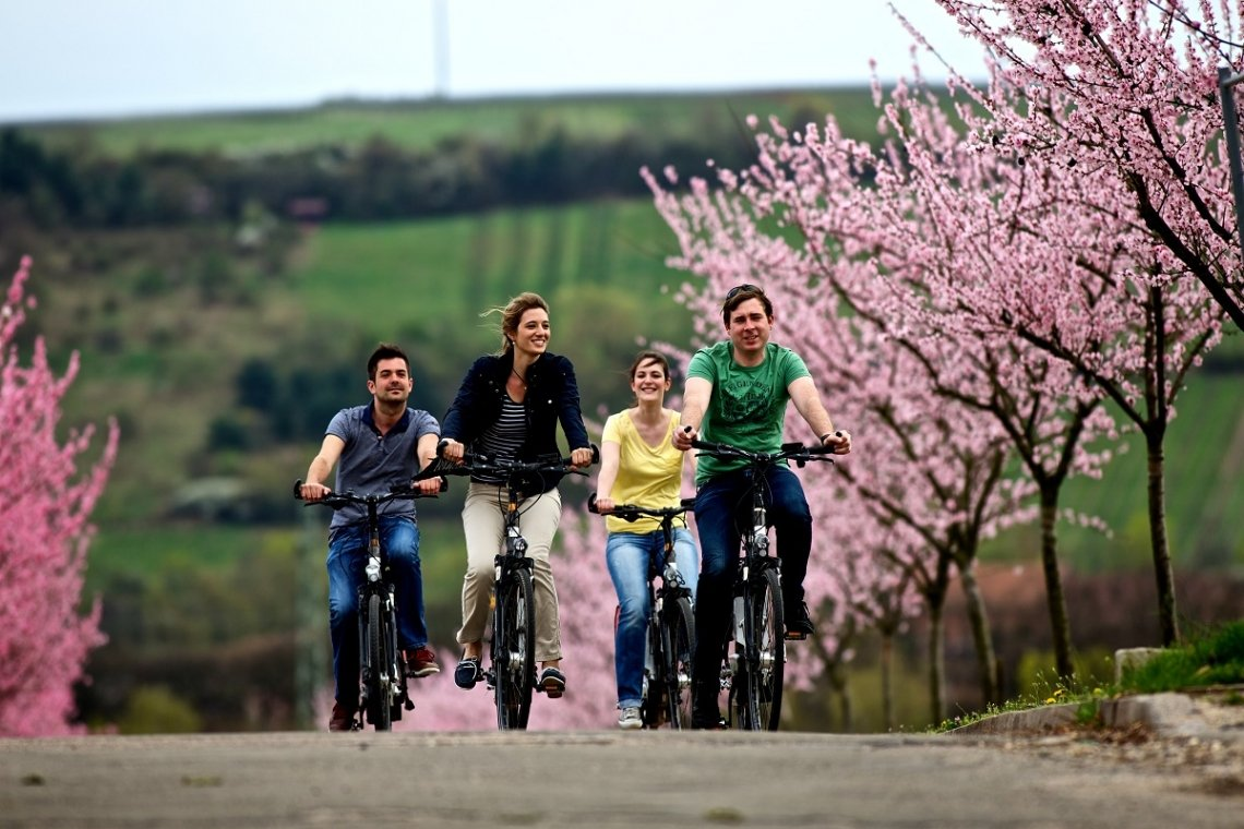 Cyclists on the Palatinate Almond Trail during the almond blossom