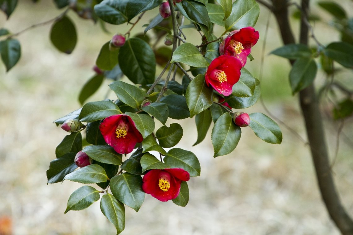 Rote Kamelien in Blüte, nicht gefüllt