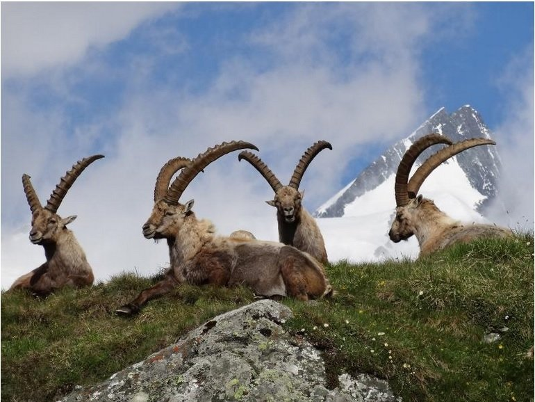 Ibex in the Hohe Tauern National Park