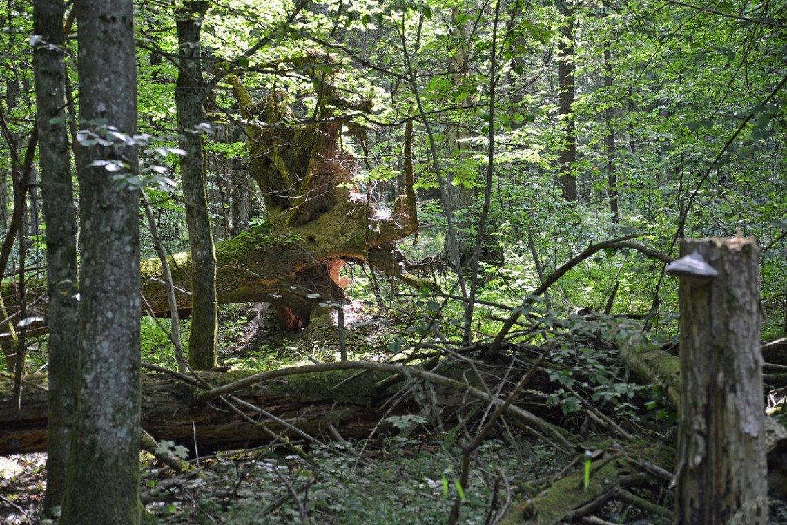 naturbelassener Mischwald im Bialowieski-Nationalpark in Polen