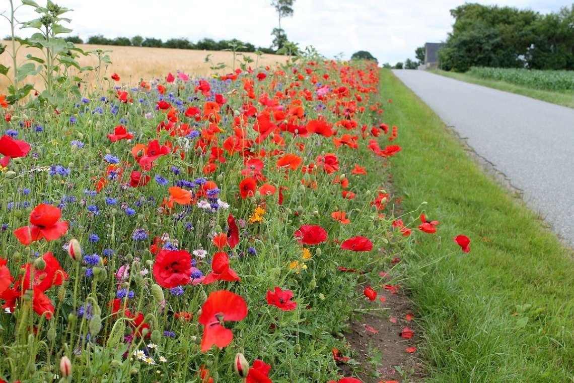 Red corn poppy on the roadside in Denmark