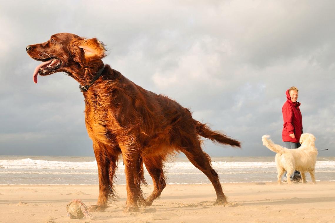 Hunde am Strand in den Niederlanden