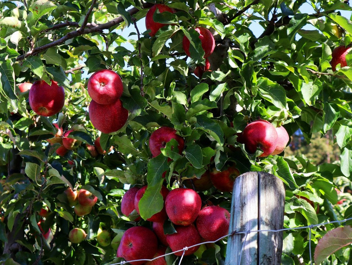 Apple trees on Lake Constance