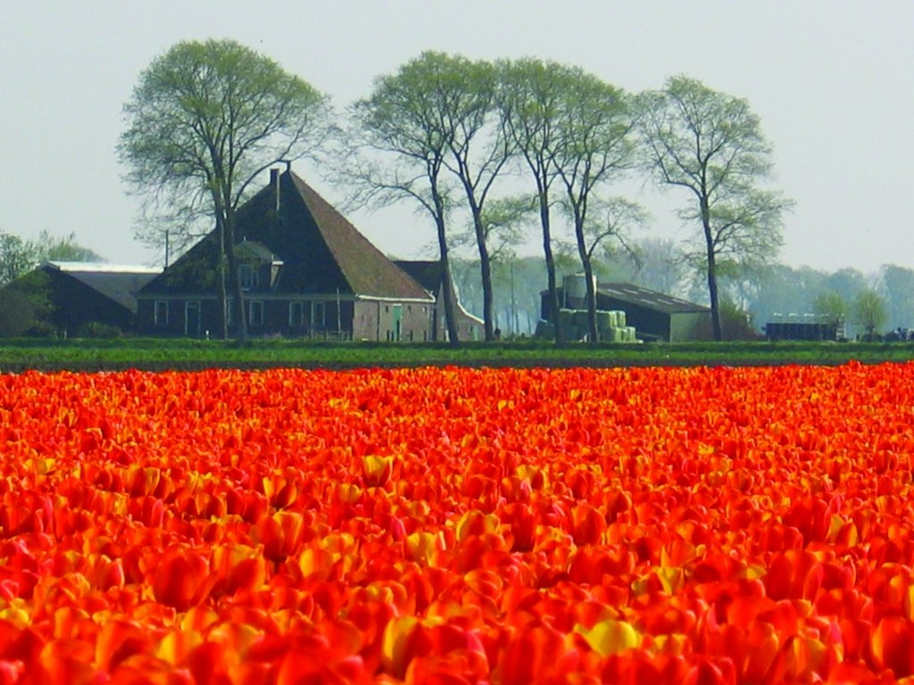 Tulip fields in the northern part of the Netherlands