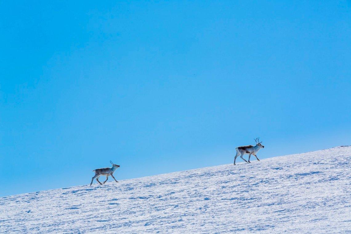 Rentiere im Schnee auf den Bergen rund um Hallingdal in Norwegen