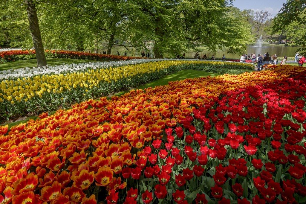Tulips in the Keukenhof park