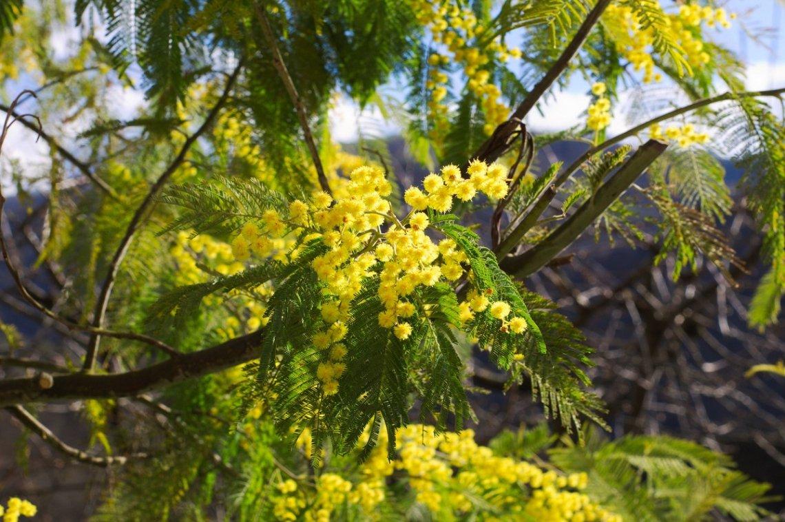 Bloeiende mimosa tegen een bergachtergrond