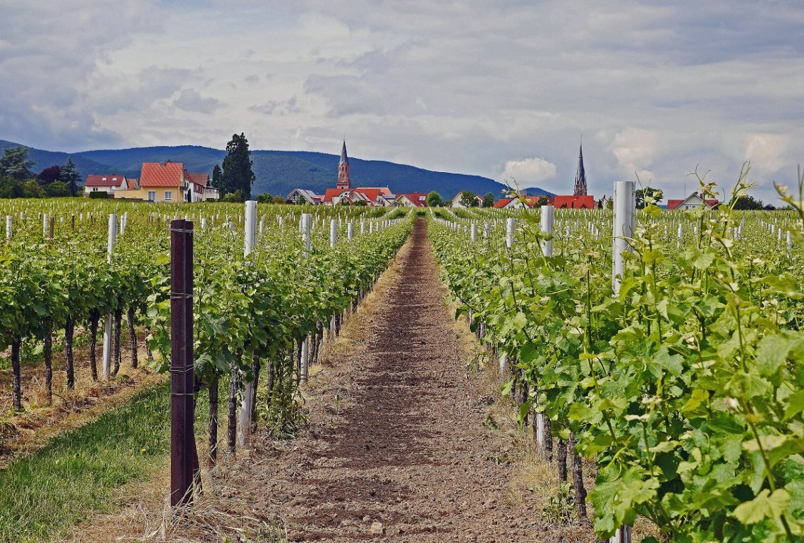 Vineyard near Edenkoben on the German Wine Route