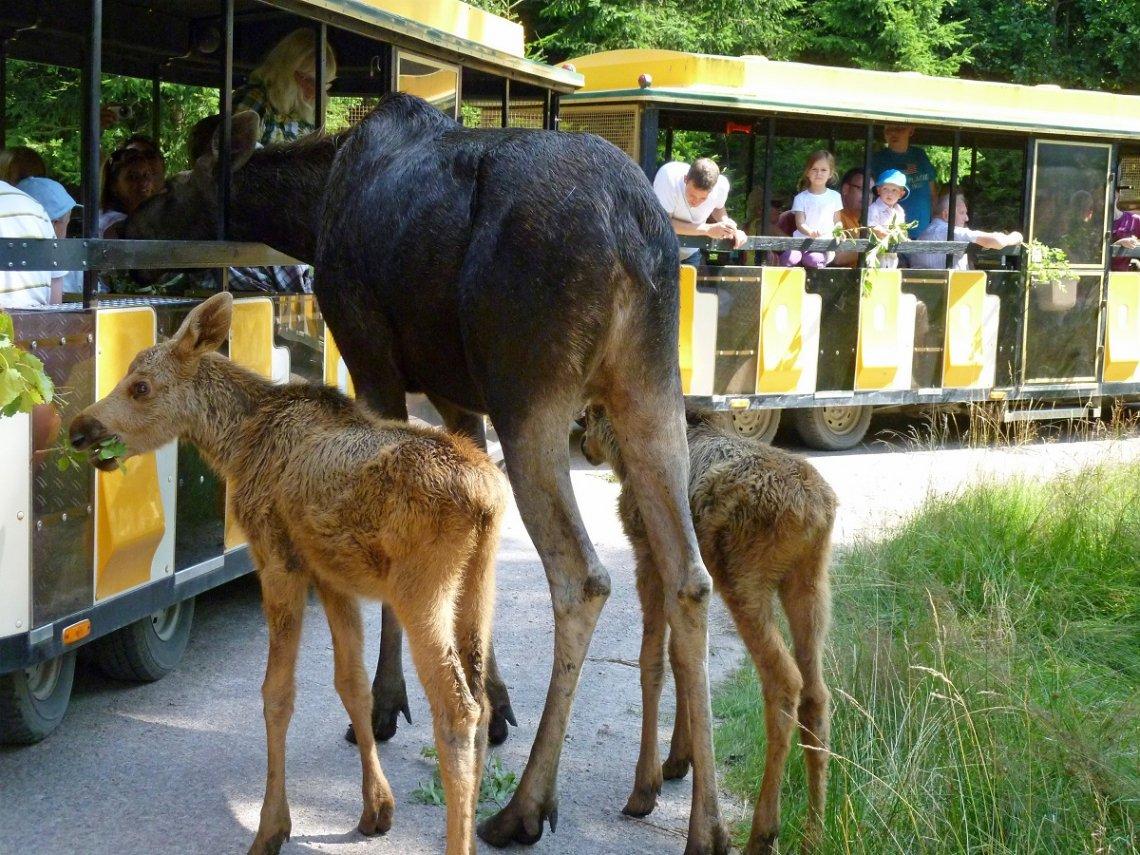 Safarizug im Elchpark Smalandet in Schweden