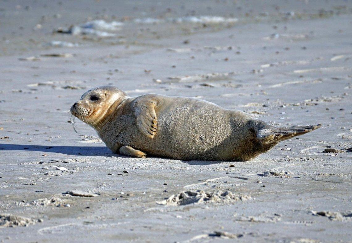 Robbe am Sandstrand in der Sonne