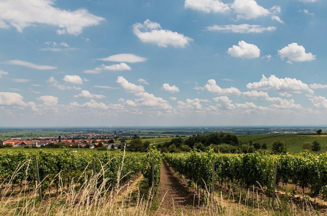 View of the vineyard near Maikammer
