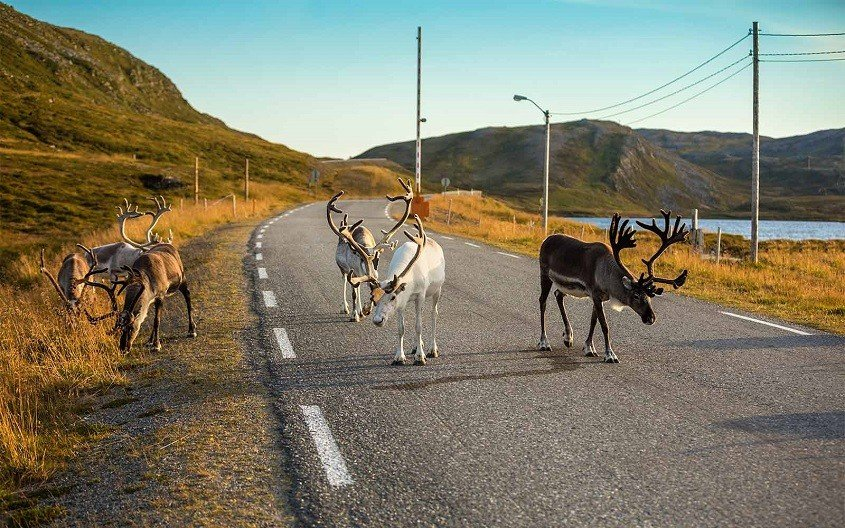 Rendeer on the street in Norway