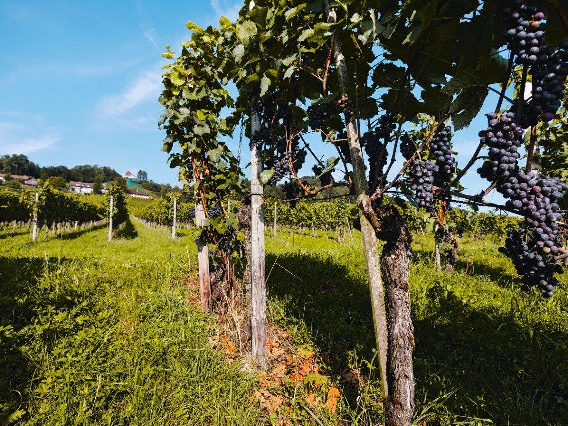 Vines near Weinfelden, Thurgau